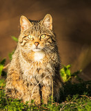 European Wildcat (Felis silvestris silvestris) - Female
