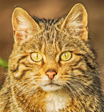 Wild Cat - Female