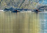 Wild Boar Swimming