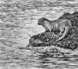 Eurasian Otter (Lutra lutra),