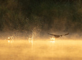 Cormorant Dawn Takeoff