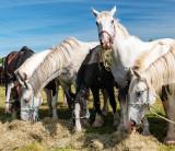 Spancil Hill Horse Fair