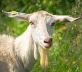 Whit Goat