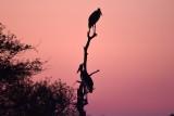 Maribou storks at dawn