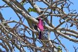 Violet-backed starling