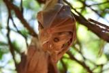 Wahlbergs fruit bat