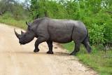 White rhino crossing