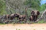 Elephants approaching