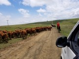 Wakkerstroom cattle
