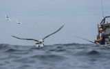 Thalassarche salvini_Salvin's albatross_Salvins albatros
