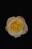 White, Yellow and Pink Rose