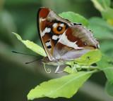 Butterflies in The Netherlands