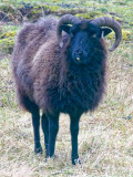 Black sheep (probably Hebridean)