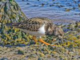 Turnstone - looking for the next stone to turn