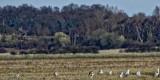 Horde of herons