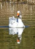Whitish Goose