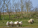 Sheep photography refresher
