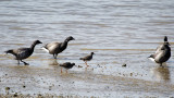 Brent Geese with Redshanks