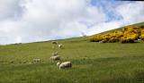 A sheepish digression to the Cheviot Hills - 1