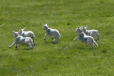 A sheepish digression to the Cheviot Hills - 2