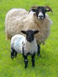 A sheepish digression to the Cheviot Hills - 4