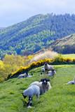Sheepish digression to Cheviot Hills - 5