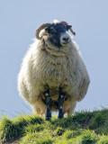 Sheepish digression to Cheviot Hills - 6