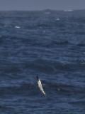 Gannet dive