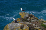 Great black-backed gull pair