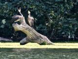 Cormorants - 2