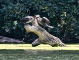 Cormorants - 1