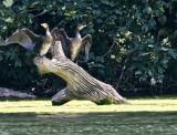 Cormorants - 3