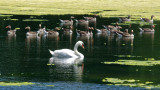 Swan with supporting cast of Greylag Geese