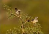 Wrens, Kinglets and Gnatcatchers