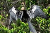 Anhinga aka snakebird