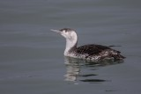 Sterntaucher | Red-throated Loon | Gavia stellata