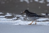 Meerstrandläufer | Purple Sandpiper | Calidris maritima