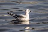 Rosenmöwe | Ross's Gull | Rhodostethia rosea