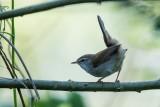 Seidensänger | Cetti's Warbler | Cettia cetti