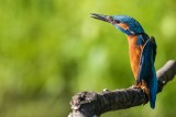 Eisvogel | Common Kingfisher | Alcedo atthis