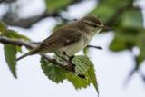 Grünlaubsänger | Greenish Warbler | Phylloscopus trochiloides