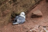 Eissturmvogel | Northern Fulmar | Fulmarus glacialis