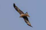 Schwarzmilan | Black Kite | Milvus migrans