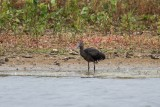 Sichler | Glossy Ibis | Plegadis falcinellus