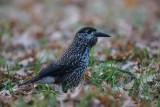 Tannenhäher | Spotted Nutcracker | Nucifraga caryocatactes