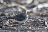 Schwarzflügel-Brachschwalbe | Black-winged Pratincole | Glareola nordmanni