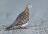 Roodnekzebraduif - Bar-shouldered Dove - Geopelia humeralis