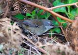 australasian warblers