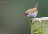Doornastrild - Red-browed Finch - Neochmia temporalis