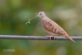 Steenduif - Ruddy Ground Dove - Columbina talpacoti